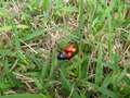 Colorful beetle from Brasília, Brazil in the grass 2.png
