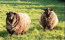 Natural Colored Sheep