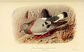 Columba Rupestris Blue Hill Pigeon.jpg