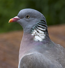 Common Wood Pigeon Wikipedia