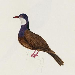 Lord Howe pigeon - Illustration from the 1800s