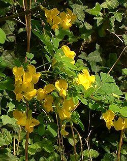fleurs du baguenaudier