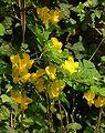 Colutea arborescens02.jpg