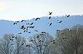 Common-Crane.jpg