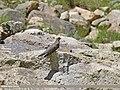 Common Cuckoo (Cuculus canorus) (28217044616).jpg