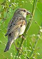 Common House Sparrow.jpg
