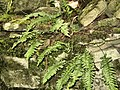 Common Polypody - geograph.org.uk - 1412266.jpg
