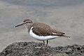 Common Sandpiper (22598559126).jpg
