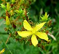 Common St. John's Wort. Hypericium perforatum - Flickr - gailhampshire.jpg