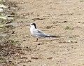 Common Tern, Lincoln Lake, September 17, 2012 (7997099519).jpg