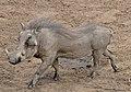 Common Warthog (Phacochoerus africanus) (31551500273).jpg