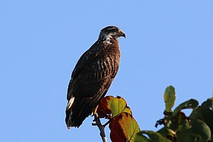Common black hawk - Image: Common black hawk (Buteogallus anthracinus gundlachii) juvenile