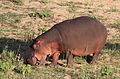 Common hippopotamus, Hippopotamus amphibius, at Letaba, Kruger National Park, South Africa (20211893362).jpg