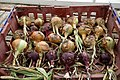 Common onion harvested at Goodnestone Park Kent England.jpg