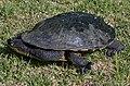Common snakeneck turtle (Chelodina longicollis).jpg