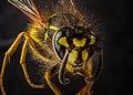 Common wasp - Gemeine Wespe (Vespula vulgaris) 2020-08-30.jpg