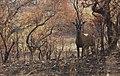 Comoe roan antelope.jpg