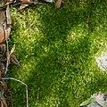 Condensed Dicranum Moss (Dicranum condensatum) (38265039624).jpg