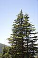 Conifers - Green Valley 2014-05-08 1603.JPG