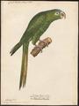 Conurus haemorrhous - 1842-1855 - Print - Iconographia Zoologica - Special Collections University of Amsterdam - UBA01 IZ18500143.tif