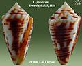 Conus flavescens 7.jpg