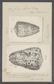 Conus obesus - - Print - Iconographia Zoologica - Special Collections University of Amsterdam - UBAINV0274 086 04 0005.tif
