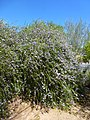 Coonly Garden, Eremophila Summertime Blue, Spring at Mayo Clinic - panoramio.jpg