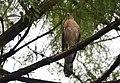 Cooper's Hawk (28974299473).jpg