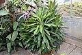 Cordyline fruticosa Glauca 3zz.jpg