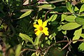 Coreopsis pubescens Sunshine Superman 4zz.jpg