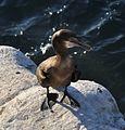 Cormorants at La Jolla Cave - 04.jpg