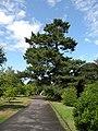 Corsican Pine - Pinus nigra - geograph.org.uk - 1452100.jpg