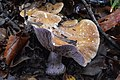 Cortinarius purpurascens 171020.jpg