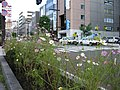Cosmos @ Sapporo (コスモス @ 札幌) - panoramio.jpg