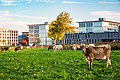 Cows in front of the campus ETH Hönggerberg.jpg