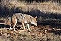 Coyote (30975505766).jpg