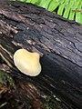 Crepidotus mollis 109165522.jpg