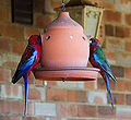Crimson Rosella (Platycercus elegans) -on feeder-2c.jpg