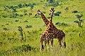 Crossed Neck Giraffes (28966535240).jpg