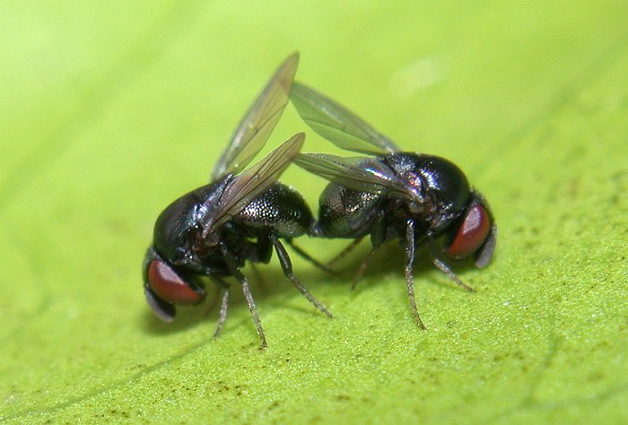 Cryptochetid flies mating