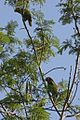 Cuban Amazon Parrot (Amazona leucocephala) (8597925134).jpg