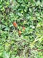 Cuckoo-pint (Arum maculatum), Badbury Rings - geograph.org.uk - 1470972.jpg