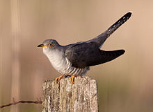 A bird with a grey back, pale underparts and along tail perched on a post