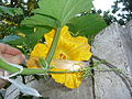 Cucurbita moschata (zapallo espontáneo) flor femenina F04 antesis vista distal (frontal, superior) pétalos estilos estigmas estaminodios tricomas margen regla.JPG