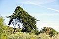Cupressus macrocarpa-4311.jpg