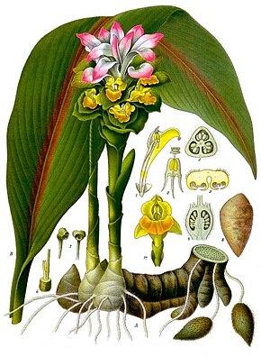 Des vertus des plantes par Macer Floridus, 1832 290px-Curcuma_zedoaria_-_K%C3%B6hler%E2%80%93s_Medizinal-Pflanzen-048