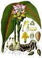 Curcuma zedoaria - Köhler–s Medizinal-Pflanzen-048.jpg