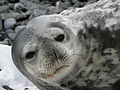 Curious Weddel Seal.jpg