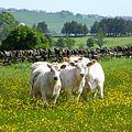 Curious cows (2531161981).jpg