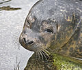 Cute young sealion (5641096176).jpg